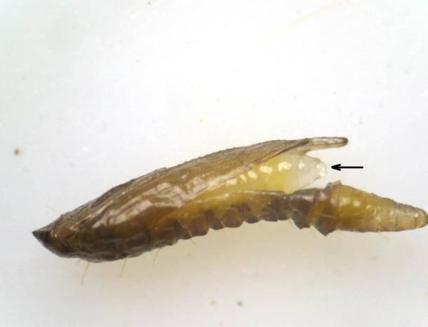 Вредитель широкой специализации – минирующая моль. минирующая моль: вредитель широкого поражения минирующая моль на каштанах инсектициды