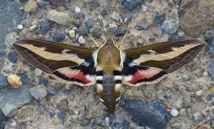 Винный бражник – образ жизни редких бабочек и гусениц. кем на самом деле является насекомое, похожее на колибри