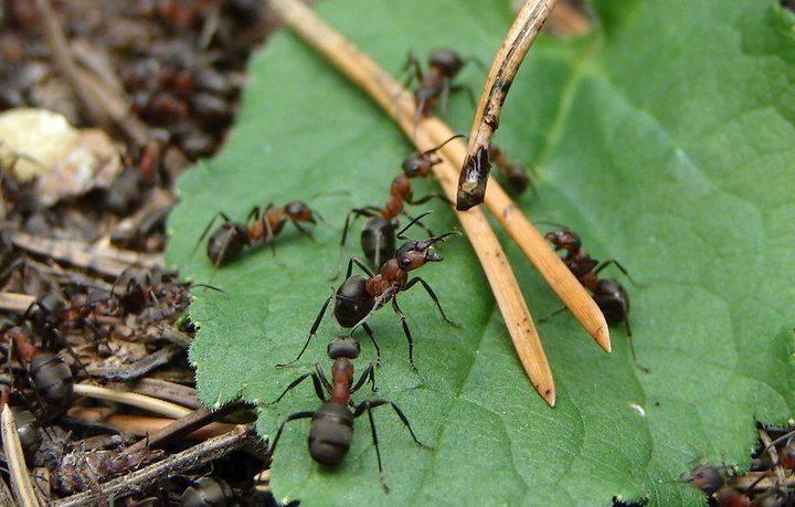 Сода от муравьёв на огороде