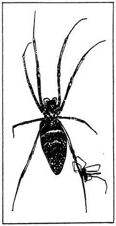 Знакомьтесь: сенокосец-кролик или существо с головой собаки и телом паука