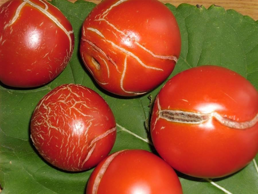 Болезни и вредители томатов (помидоров)