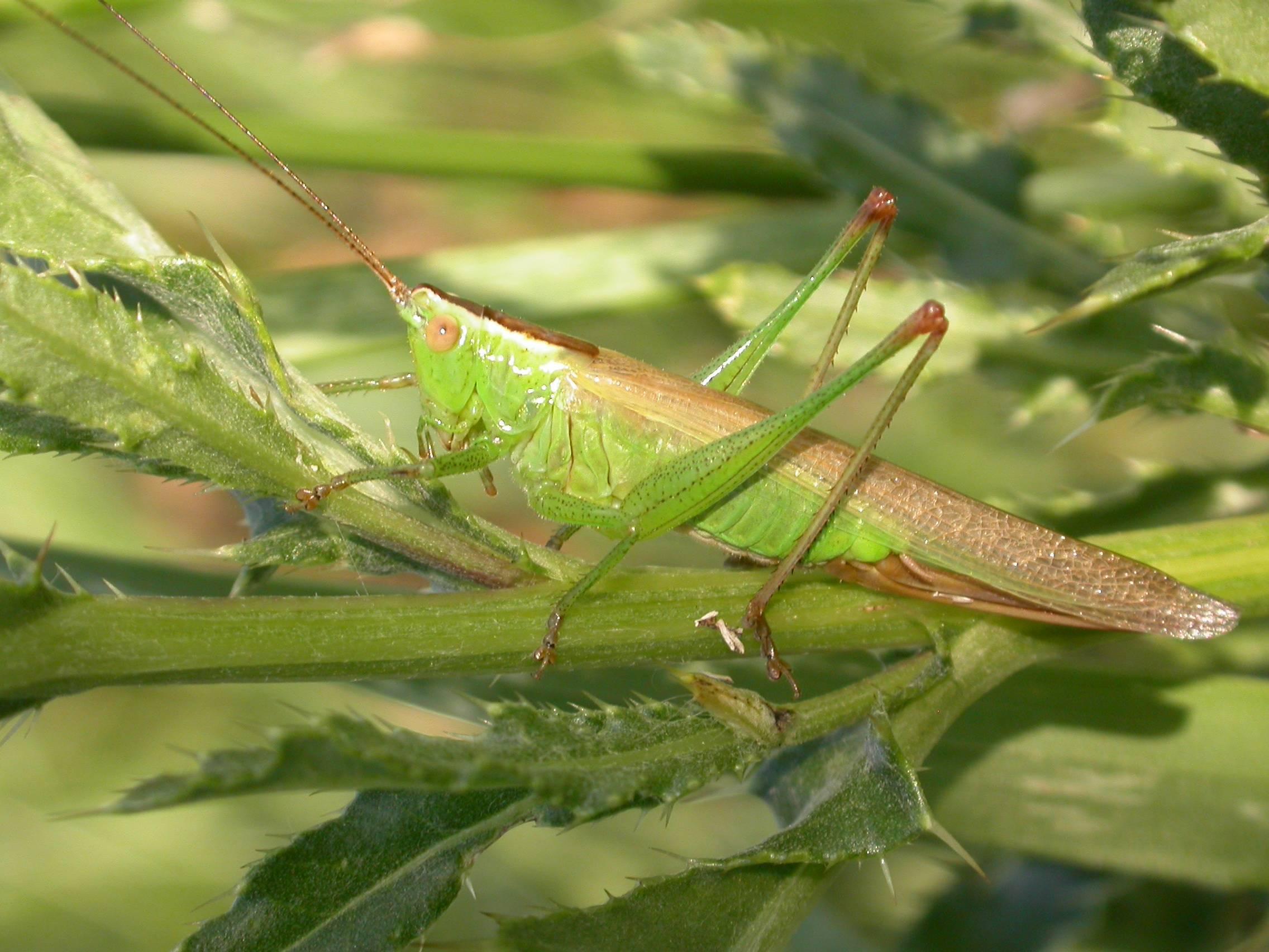 4.5 половой диморфизм и полиморфизм у взрослого насекомого