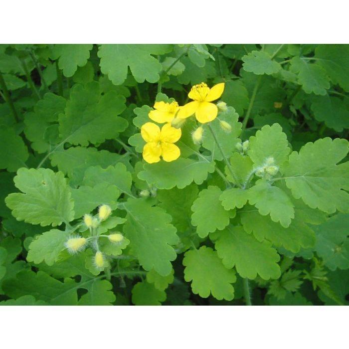 Чистотел в саду: свойства растения и способы его применения в садоводстве