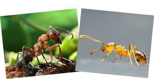 Кто такие фараоновы муравьи и как от них избавиться