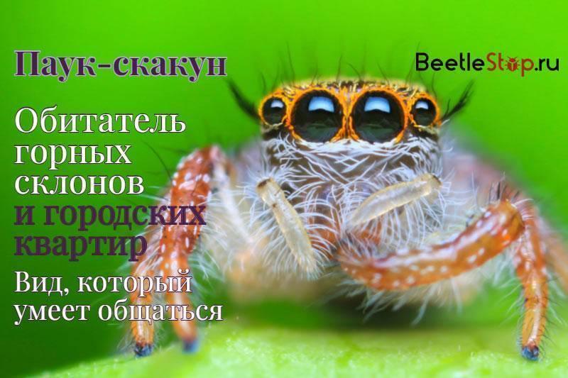 Паук-скакун: фото и описание