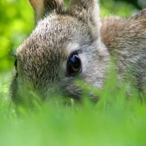 Что делать, если у кролика появились блохи