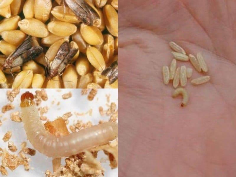 Избавляемся от пищевой моли на кухне раз и навсегда