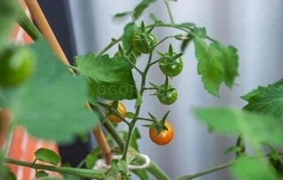 Тля на помидорах: чем опрыскивать рассаду, во время цветения