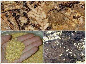 Пшено против муравьёв: принцип действия, способы применения