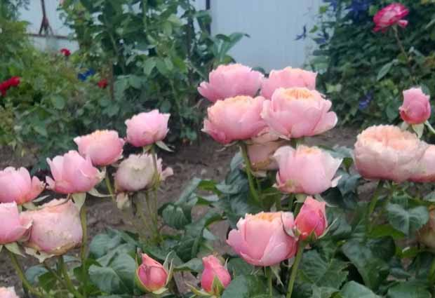 Откуда берется тля на розах? виды вредителя и способы борьбы