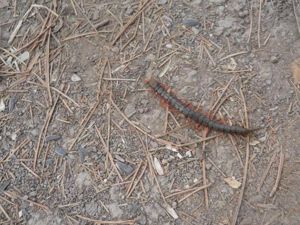 Многоножка: насекомое в доме и причины появления