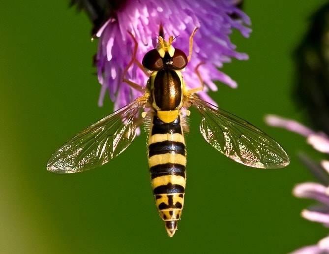 Муха похожая на осу название. муха журчалка – полезное насекомое. как отличить сирфиду от жалящих насекомых