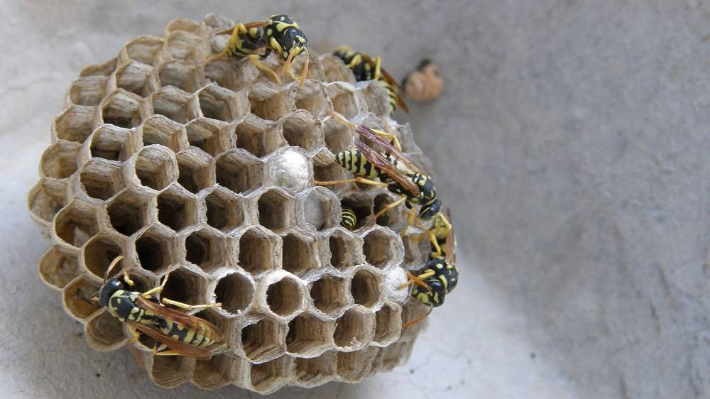 Гнезда шершней (фото): об их устройстве и как их правильно и безопасно убрать. как устроено гнездо осы, и каким образом оно используется в медицине? как выглядит гнездо домашних клопов