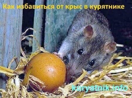 Крысы и как с ними бороться в подсобном хозяйстве
