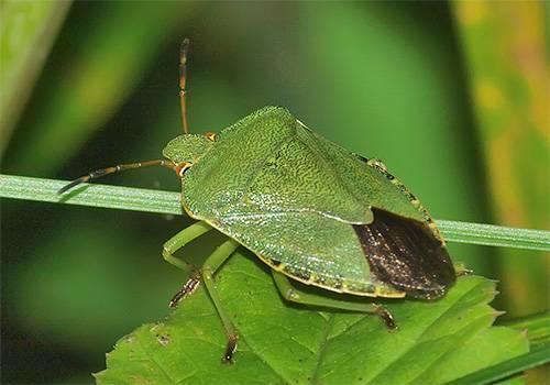 Как выглядит зеленый древесный клоп и стоит ли его бояться