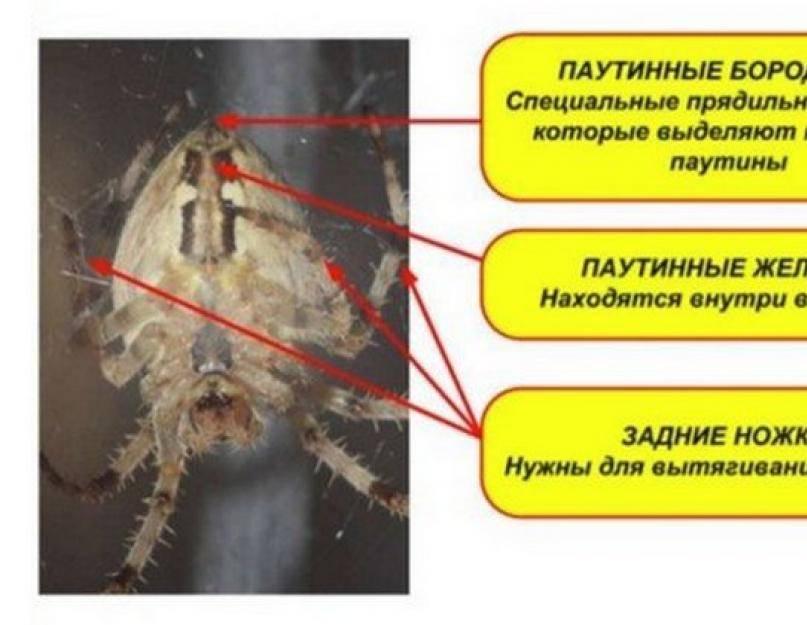 Почему паук плетет паутину. как паук плетет паутину, откуда берется паутинный шелк? из чего состоит и где образуется