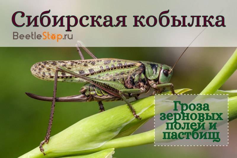 Кобылка сибирская: фото, образ жизни и методы борьбы