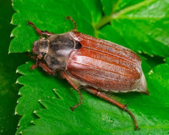 К чему снятся жуки — подробное толкование