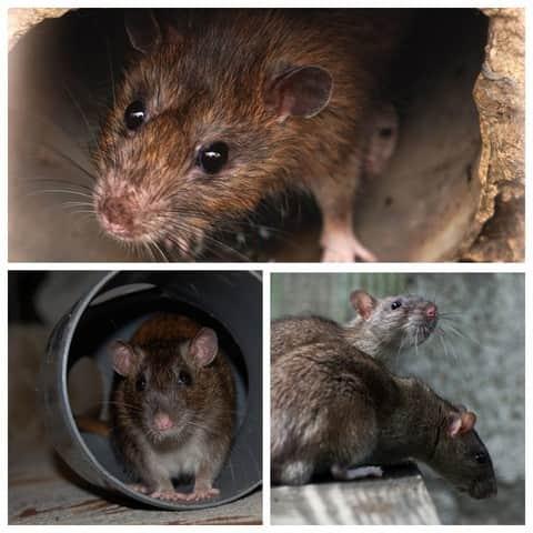 Мыши в жилых многоэтажках
