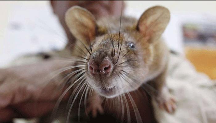Гамбийская хомяковая крыса. помогает саперам и спасает жизни