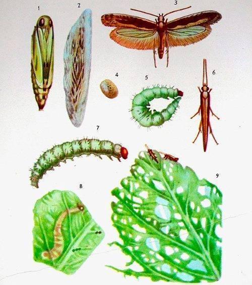 Биологические и химические методы борьбы с капустной молью