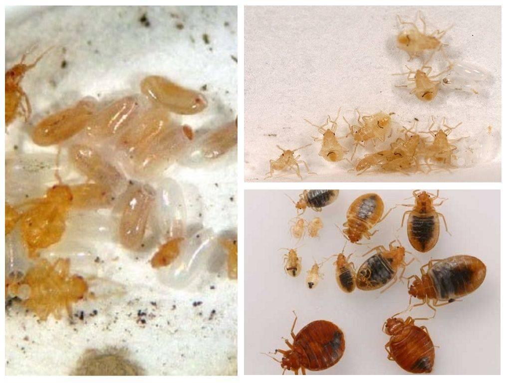 Как обнаружить яйца и личинки клопов в квартире