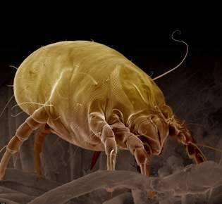 Все про пылевых клещей: кто такие, среда обитания, как от них избавиться