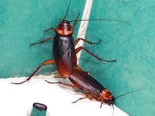Кто такие чёрные тараканы и каких вывести