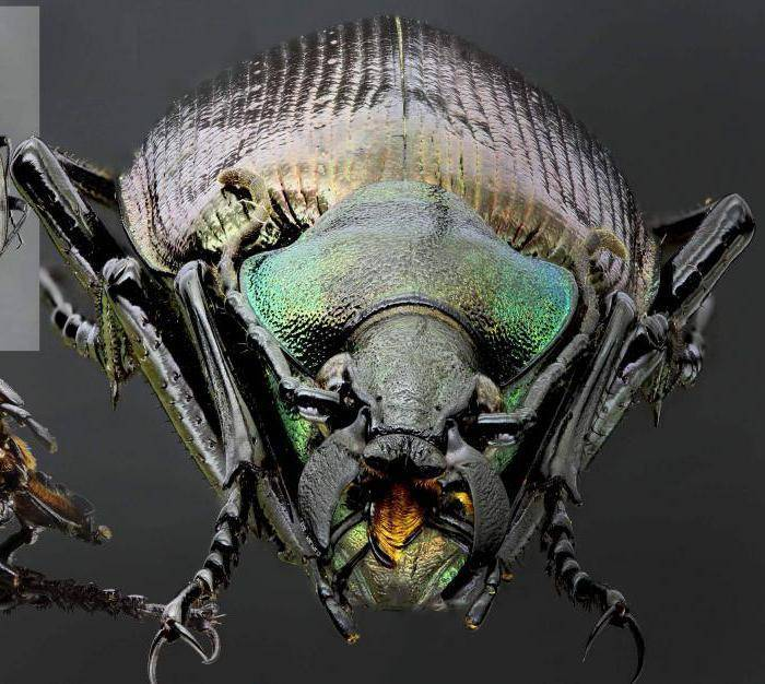 Красотел пахучий, или мускусный жук, или большой куколковый охотник-бандит