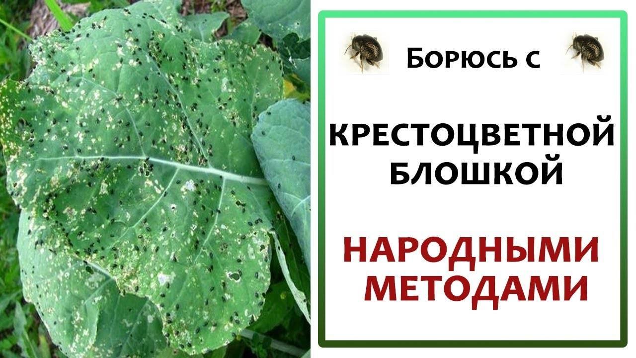 Как избавиться от крестоцветной блошки на капусте и предупредить ее размножение?