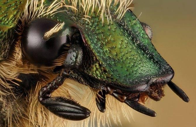 Как живут и чем питаются бронзовые жуки