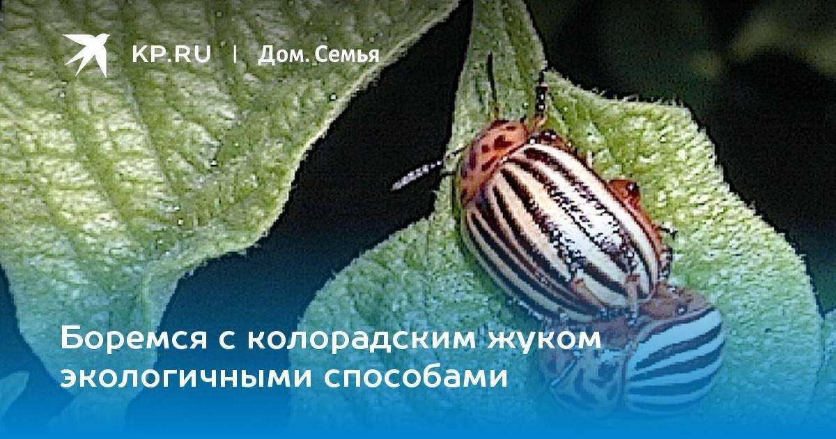 Колорадский жук: война, которую человечество бесславно проиграло...