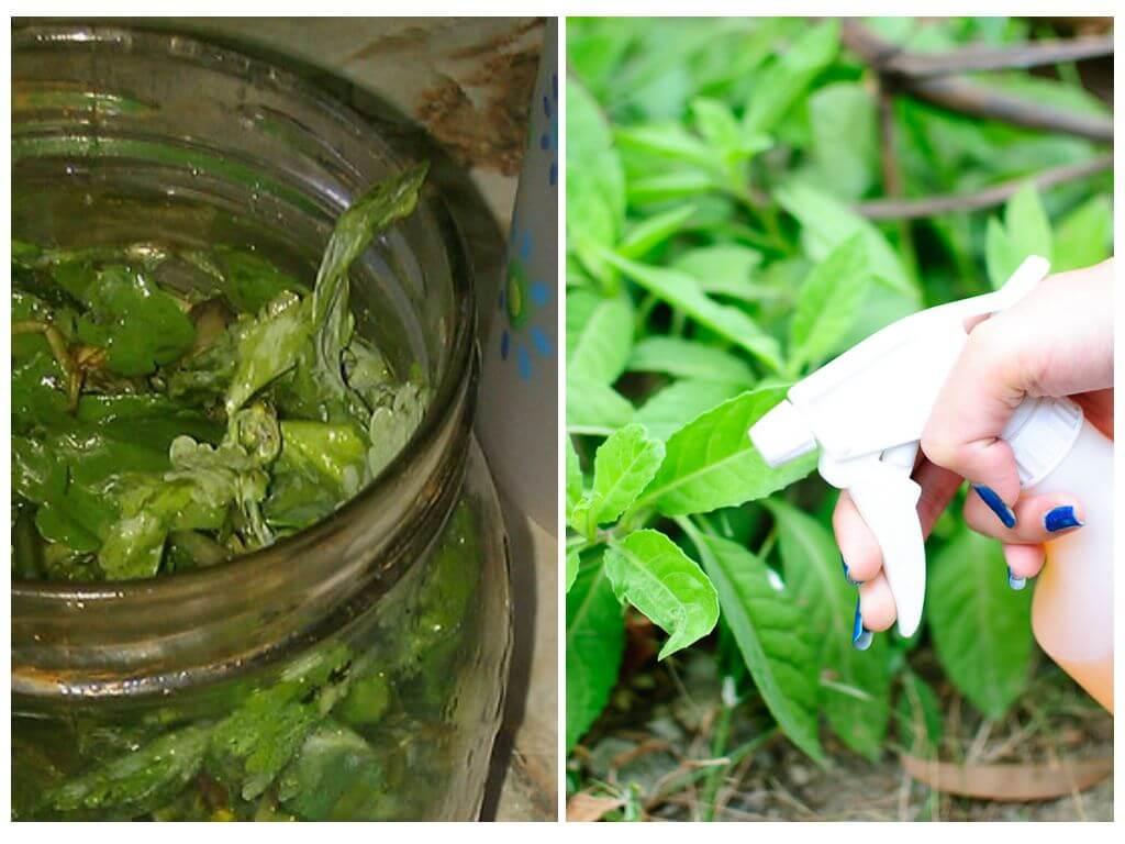 Применение водки для борьбы с тлёй – обработка и опрыскивание