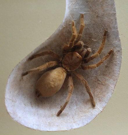 Пауки плетущие паутину