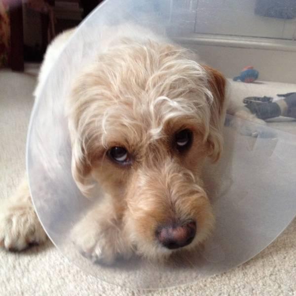 Как вывести подкожного, или демодекозного, клеща у собак?