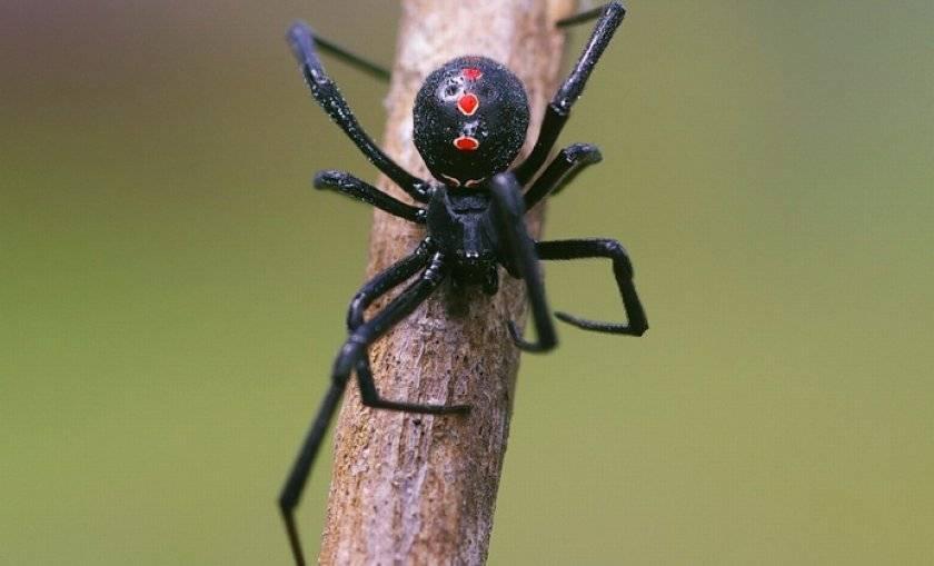 Ядовитые пауки россии – описание, фото, последствия укуса