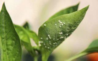 Как избавиться от белокрылки в теплице? подробный обзор эффективных способов