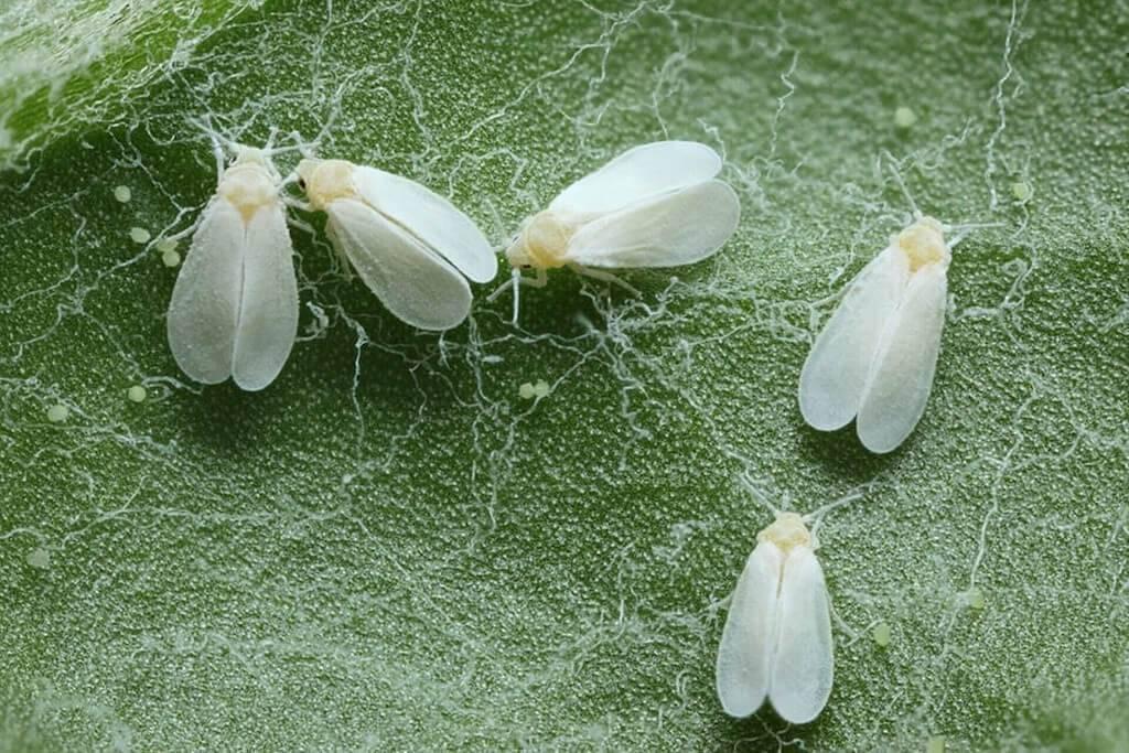 Чем лучше обработать капусту от вредителей, народные, химические и биологические средства