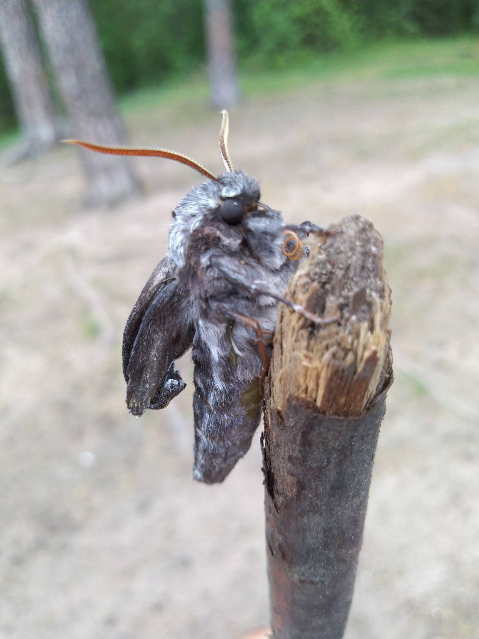 Древесница въедливая – красочная бабочка с опасным потомством