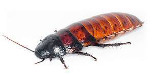 Особенности мадагаскарского таракана и его условия содержания