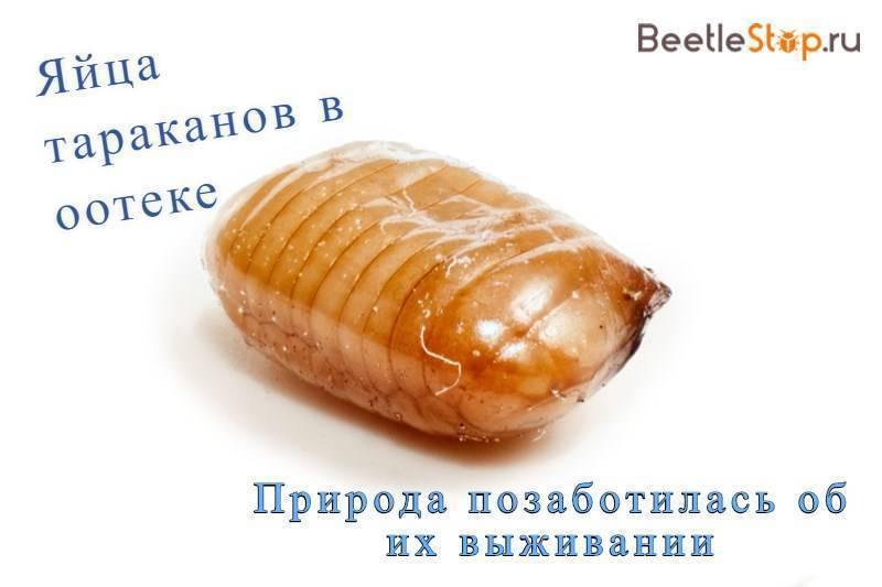 Cколько тараканов вылупляется из одного яйца?