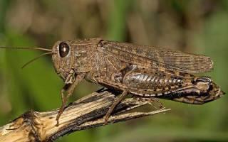 Как выглядит саранча, где обитает, чем питается, как размножается? наносимый вред и методы борьбы, фото насекомого