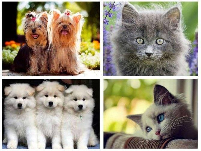 Клопы на кошках: могут ли домашние животные переносить вредителей?