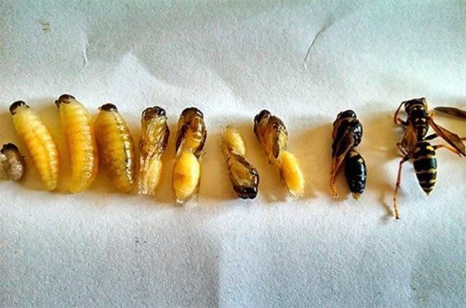 Польза и вред от укуса осы