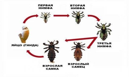 Как размножается вошь различных видов