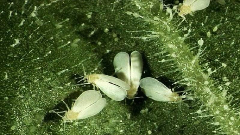Минирующая муха: эффективные способы борьбы