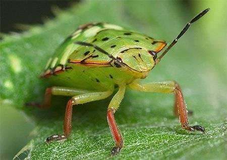 Вред и опасность зеленого клопа