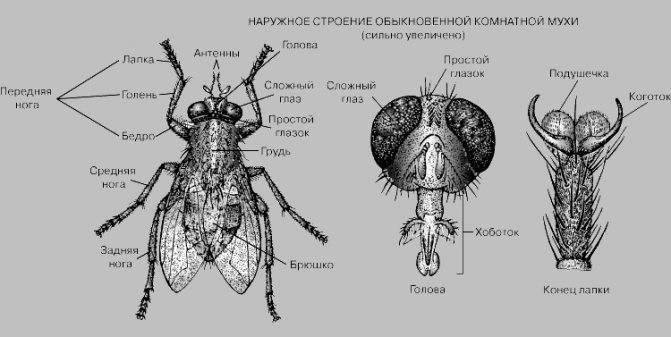 Как выглядит мир глазами обыкновенной мухи? сколько кадров в секунду видит муха и сколько у неё глаз.
