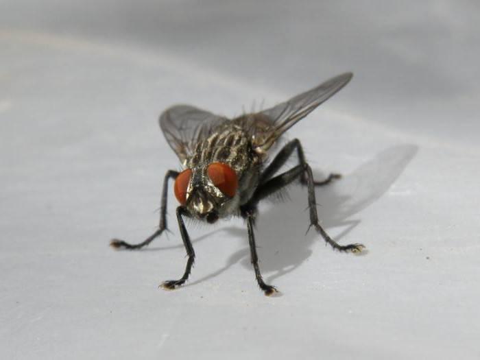 Что мы знаем о домашних мухах?