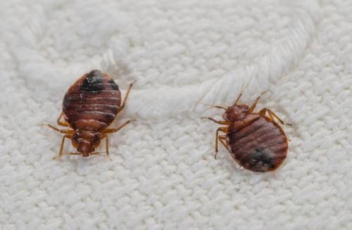 Фас от тараканов: действие и эффективность в домашних условиях